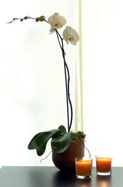 Orchidea Flora2000