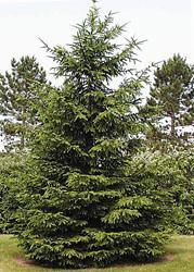 Picea Abies Abete Rosso: tipico Albero di Natale