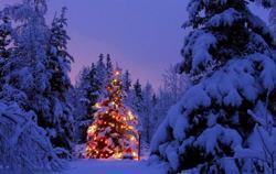 Picea Abies: Albero di Natale