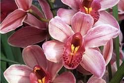 orchidea cymbridium