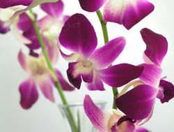 orchidea dendrobium