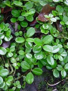 peperomia tetraphylla foglie