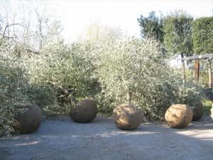 Olivi in zolla