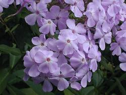 phlox paniculata viola
