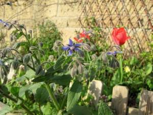 Borragine in un giardino