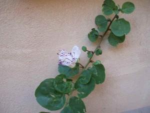 cappero con fiore