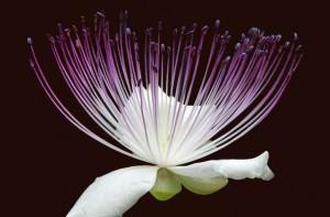 fiore di cappero, particolare