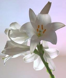 giglio bianco, fiori