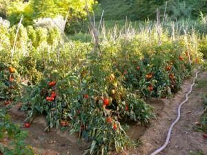 coltivazione dei pomodori
