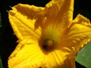 Fiore di Zucca