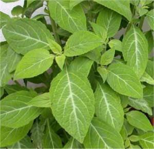 foglie di salvia