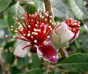 fiori feijoa