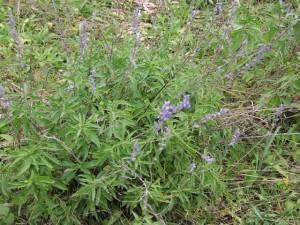 Salvia farinacea cespuglio