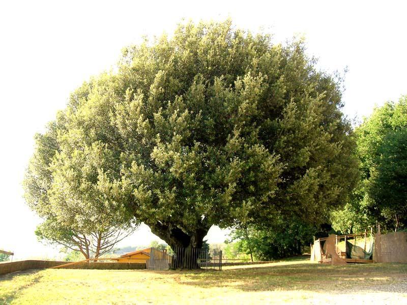 Leccio quercus ilex for Alberi da frutto prezzi