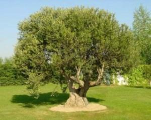 pianta olivo