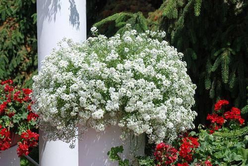 Lobularia, esplosione di fiori