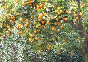 Citrus aurantium frutti