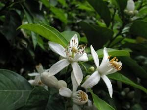 Citrus aurantium, fiori
