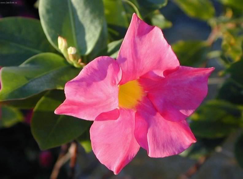 Dipladenia sempreverde decorativa for Dipladenia malattie