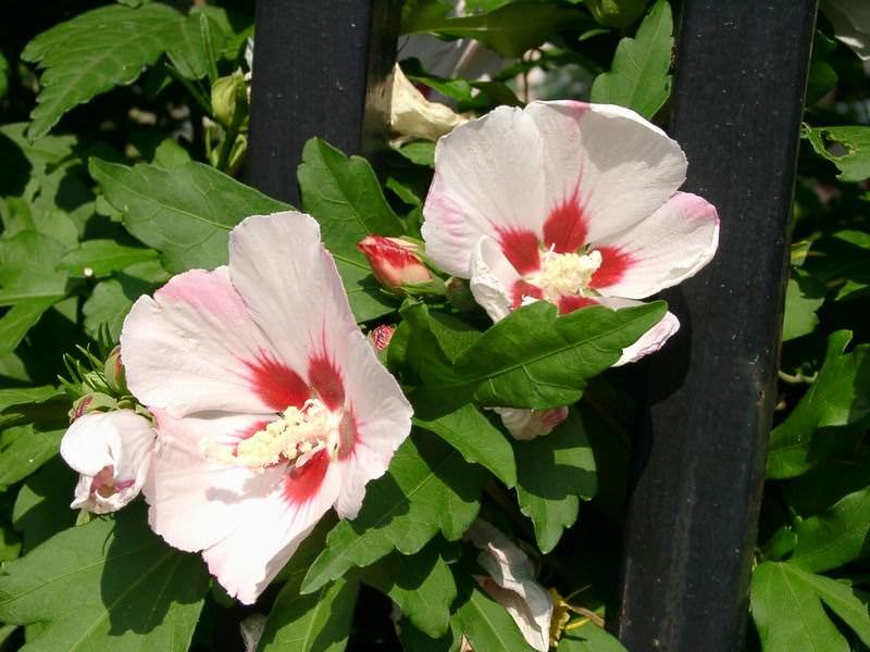 Ibisco il fiore della bellezza for Ibisco in inverno