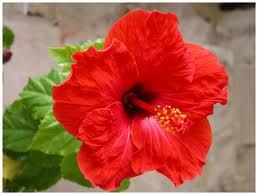 Ibisco il fiore della bellezza for Ibisco rosso
