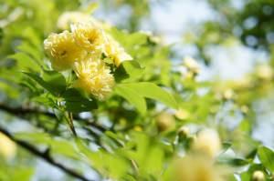 Particolare Rosa Banksiae