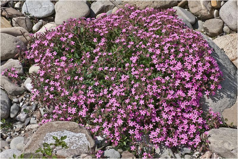 Giardino roccioso la saponaria - Piante per giardino roccioso ...