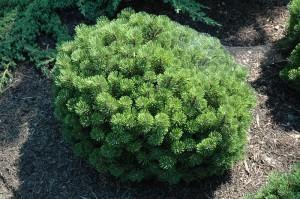 Pinus Mugo Teeny