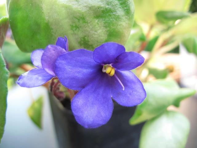 Saintpaulia orbicularis purpurea