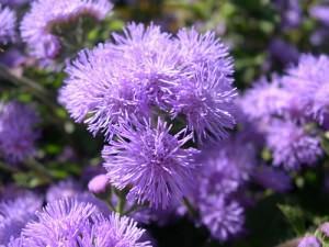 fiore di agerato