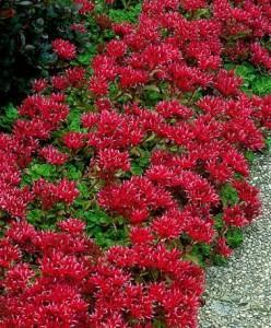 Piante tappezzanti per il giardino - Erba nana per giardino ...