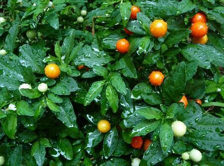 Solanum ornamentale for Pianta solanum