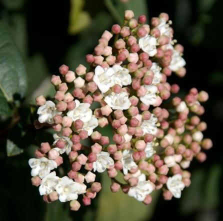 viburno tino in fiore