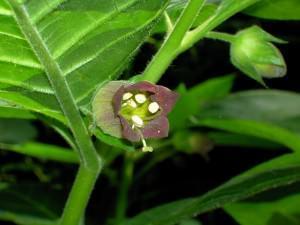 Atropa belladonna fiore