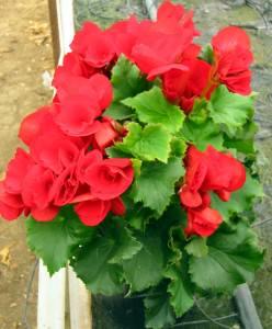 begonia elatior rossa