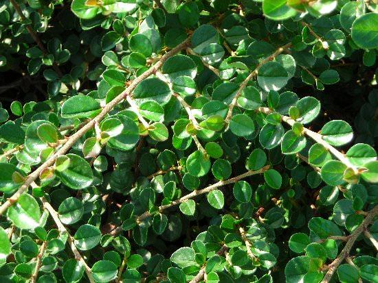 cotoneaster 2