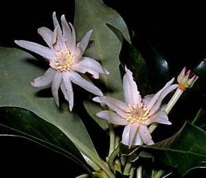 fiori anice stellato