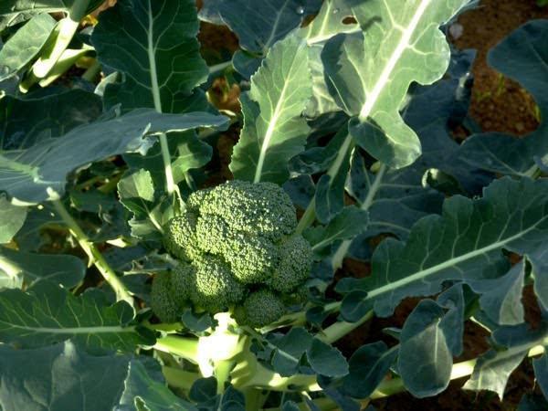 orto invernale, broccolo