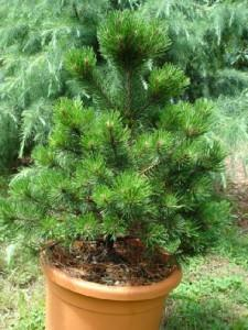 Conifere nane: pino mugo