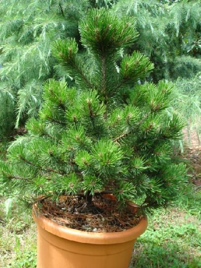 Conifere nane da terrazzo for Conifere da giardino