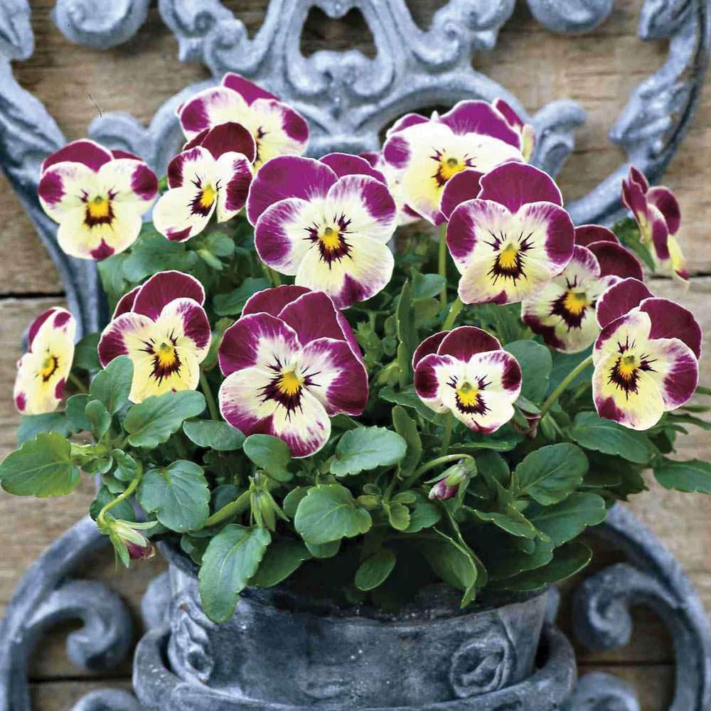 Viola cornuta in giardino for Viola cornuta inverno
