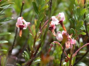 fiori di mirtillo rosso americano