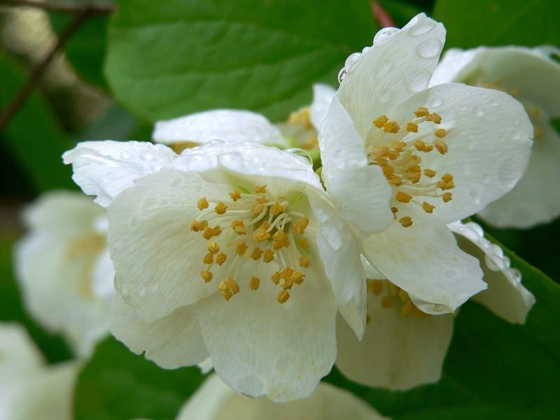 Philadelphus il fiore dell 39 angelo for Philadelphus coronarius