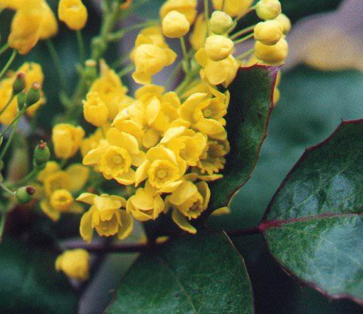 Mahonia, fiori