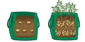 Coltivazione patate in sacco