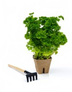 Fresh parsley with rake