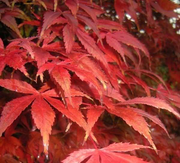 Coltivazione acero giapponese for Acero giapponese in vaso