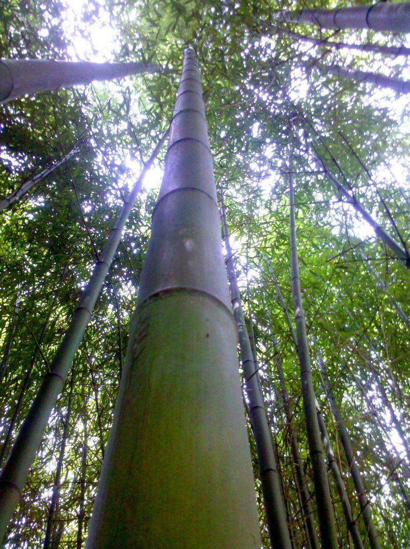 In vendita canne di bambu con diametri da 1 a 10 cm. 5