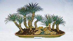 Coltivazione e cure dei bonsai