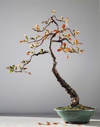 Coltivazione e cura dei bonsai